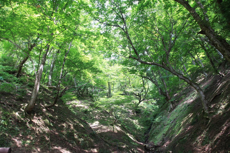 くつきブナ原生林