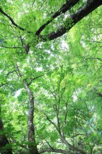 朽木ブナ原生林