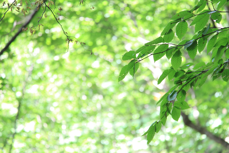 高島市朽木のブナ原生林にあるブナの画像
