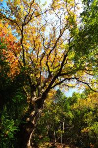 栃の木の紅葉