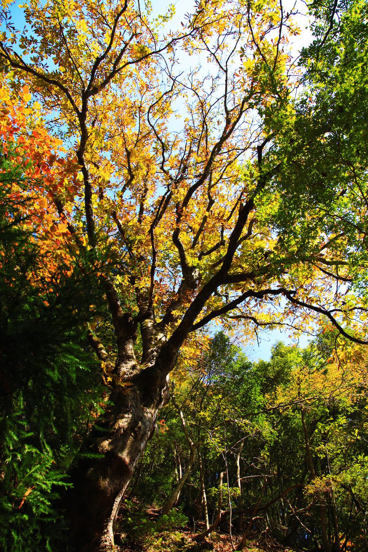 【画像】高島市朽木の栃の巨木
