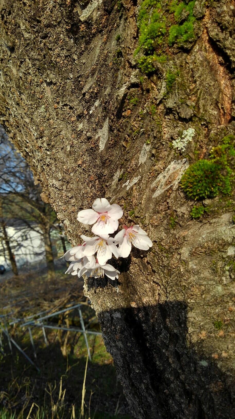 8日 桜の絨毯になりました
