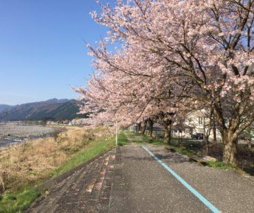 川沿いの桜並木道