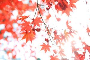 朽木の紅葉