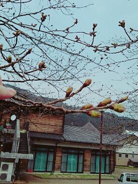 桜そろそろ~り