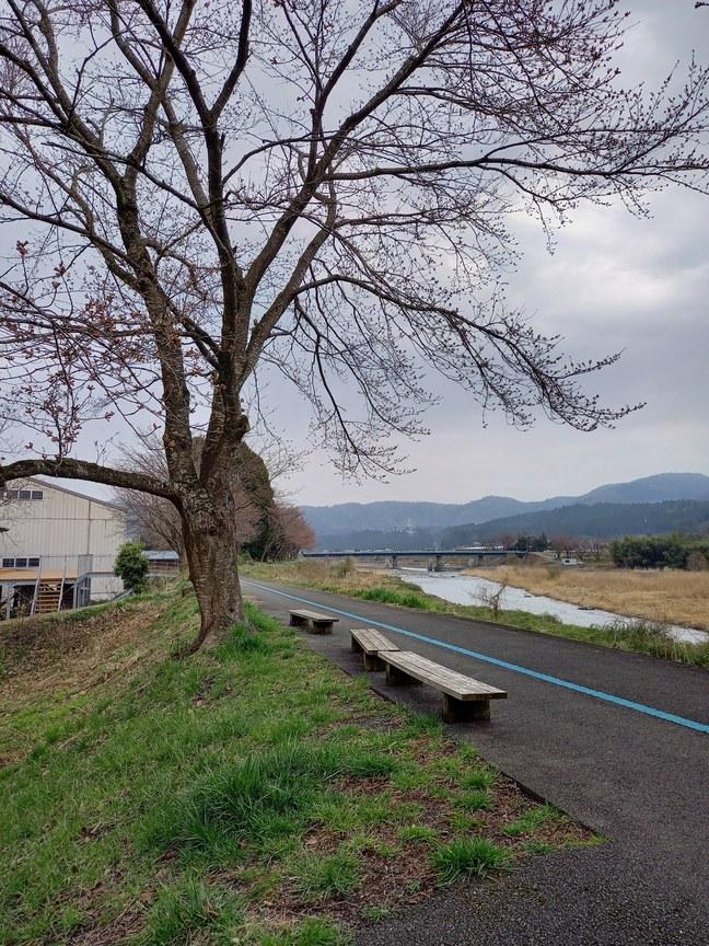 桜の状況3月25日