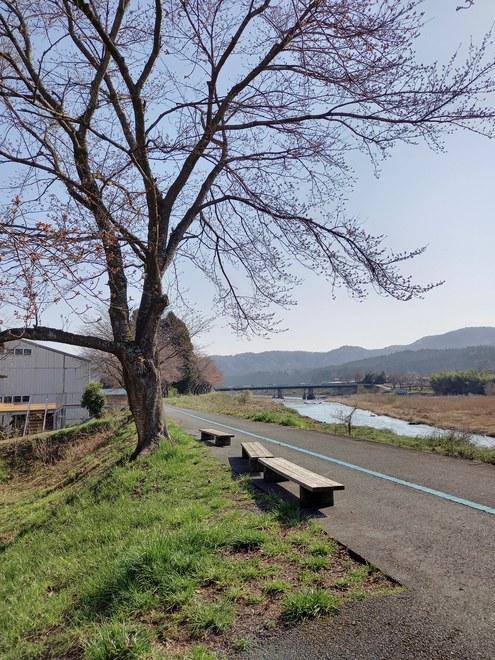 桜の状況3月26日開花しました。
