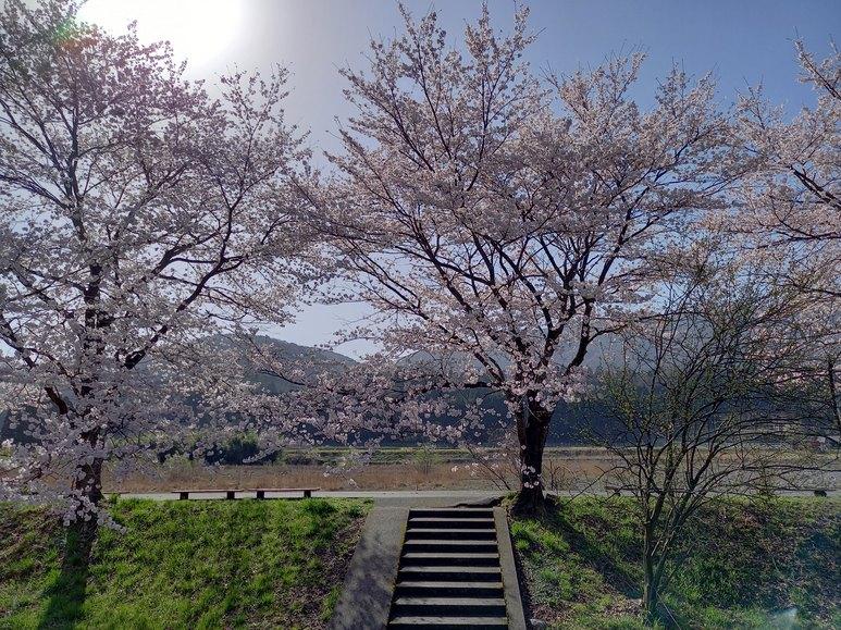 2021.3.31桜状況2