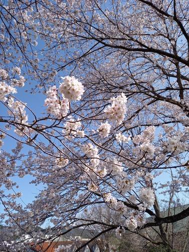 2021.3.31桜状況3