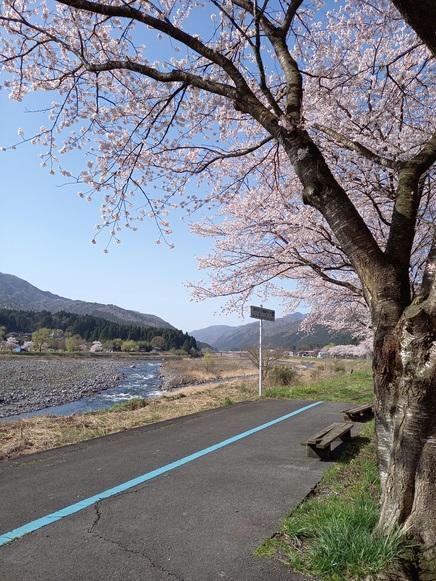 2021.3.31桜状況4