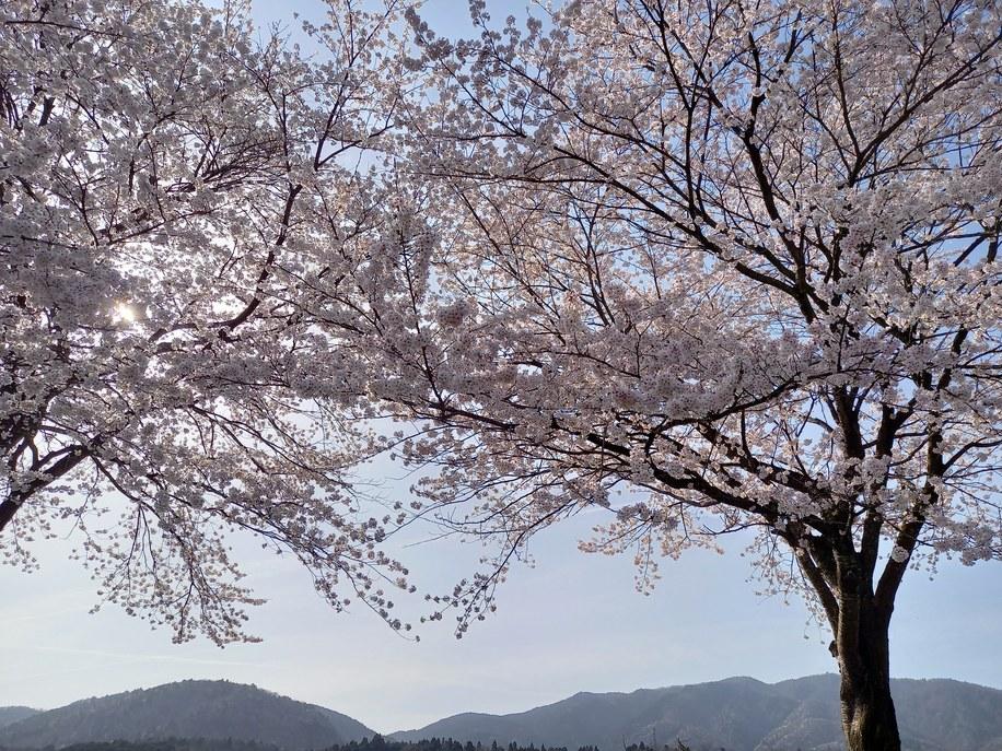 2021.4.1桜状況3