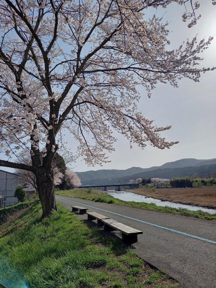桜状況4月1日(木)