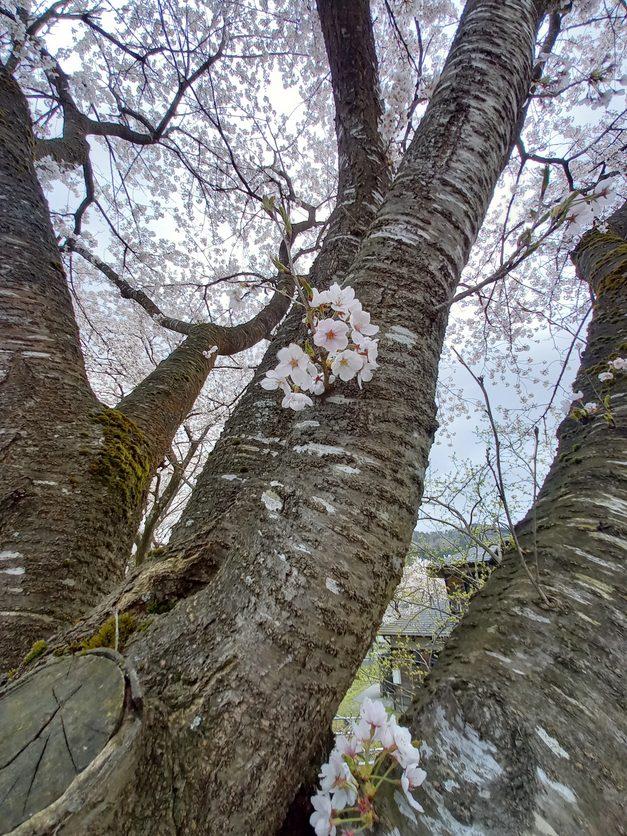 2021.4.3桜状況1
