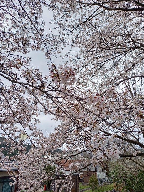 2021.4.3桜状況4
