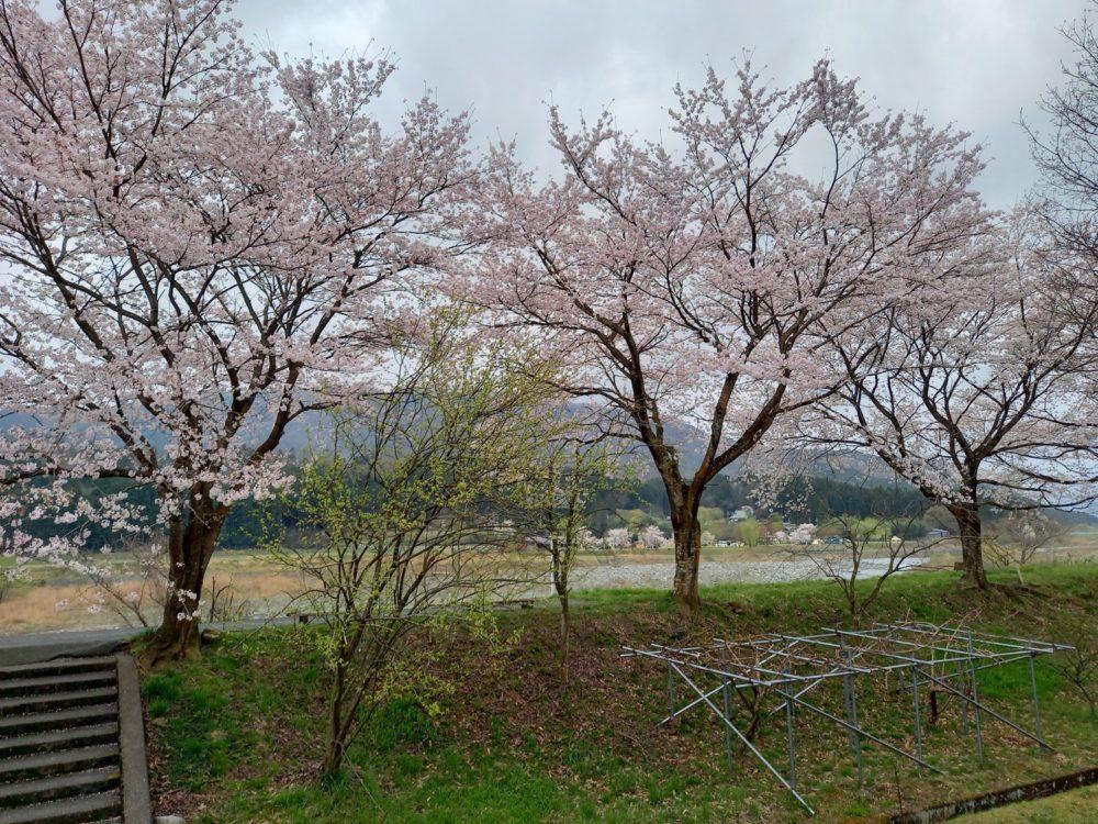 2021.4.3桜状況5