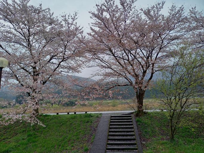 2021.4.4桜状況1