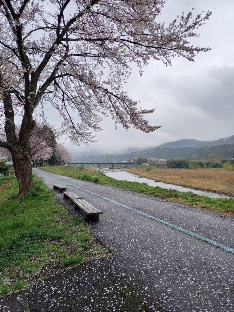 桜散り始め4月4日